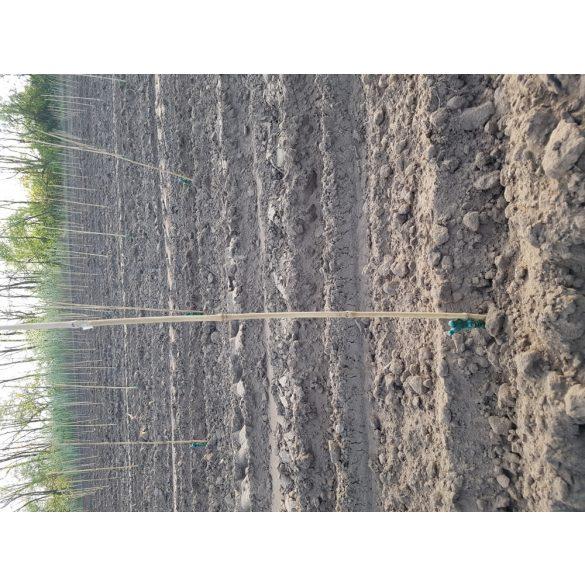 Bambusz termesztő karó 0,6m 6db/köteg *